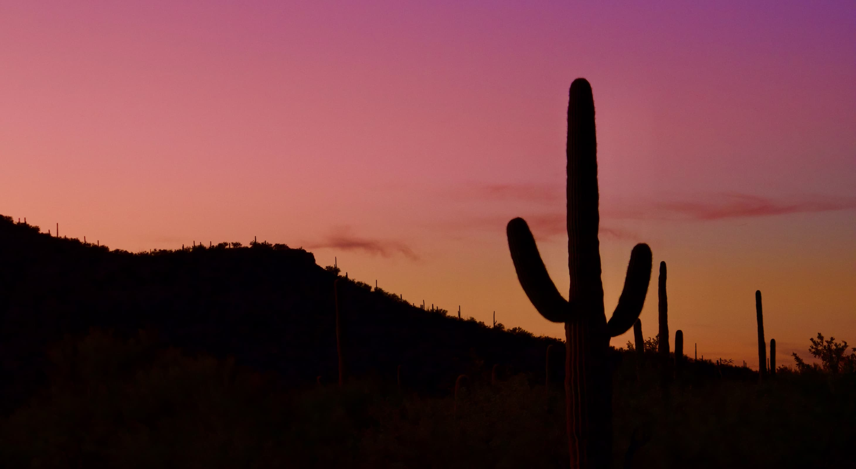 A cactus in Saguaro national park silhouetted in the sunset